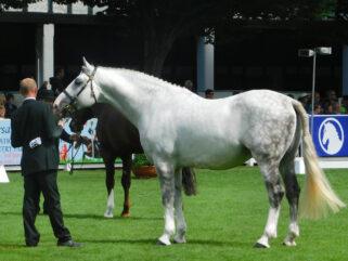 Horse Breed: Irish Draught - Globetrotting horse riding holidays