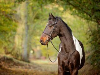 Horse Breed: Irish Sport Horse - photo by Johanna Charlton/Shutterstock.com - Globetrotting horse riding holidays