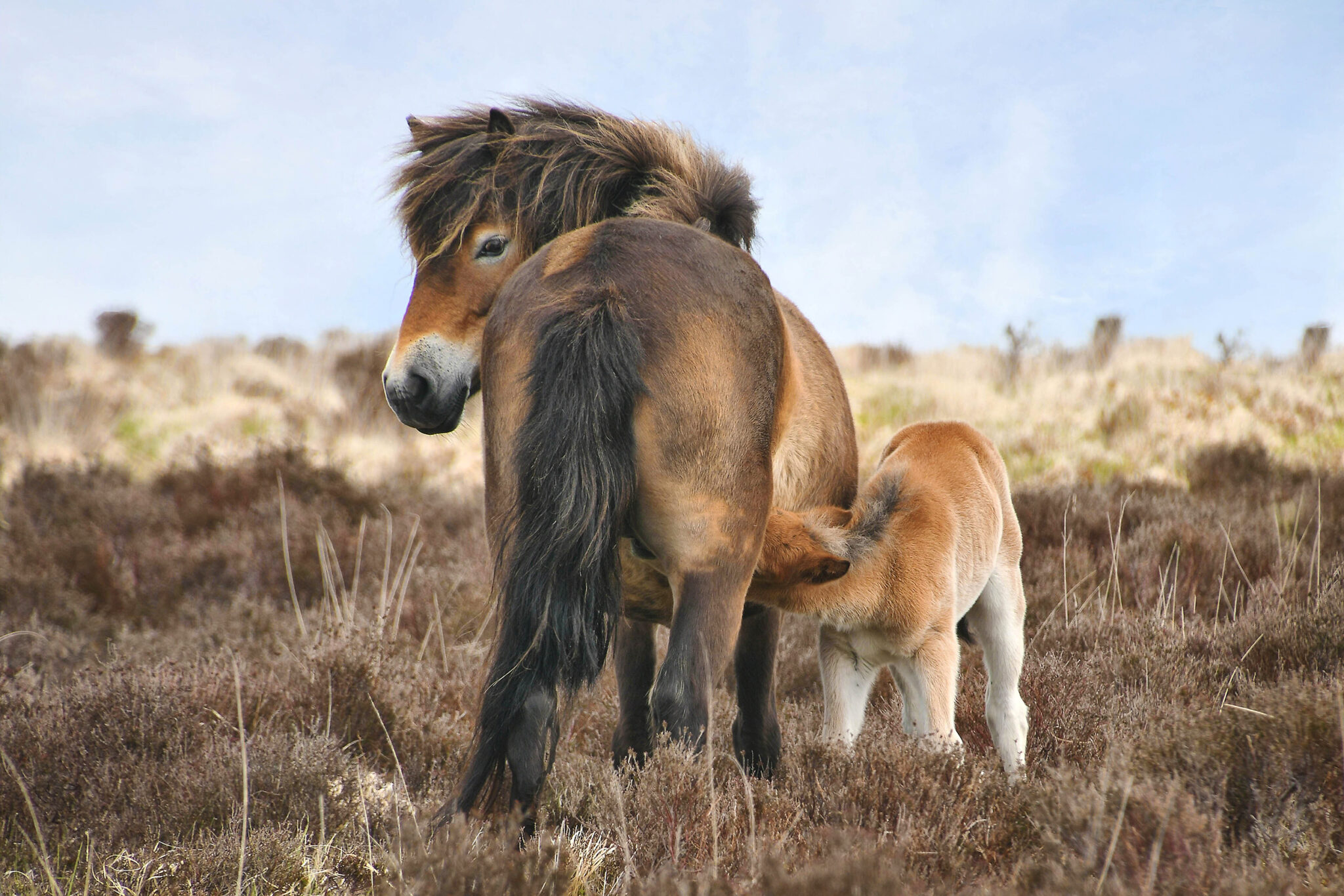 Horse Breed: Exmoor Pony - photo by castleguard on Pixabay - Globetrotting horse riding holidays