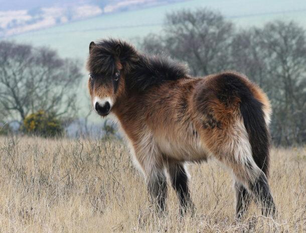 Horse Breed: Exmoor Pony - photo by Paul Steven/Shutterstock.com - Globetrotting horse riding holidays