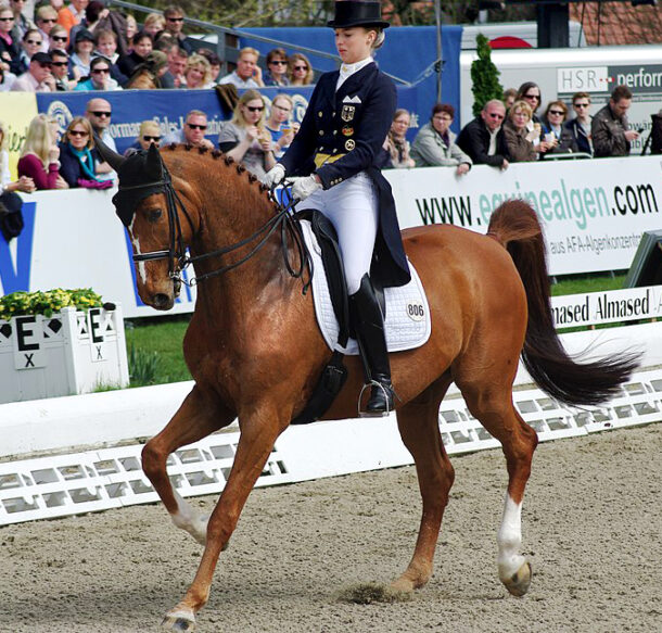 Horse Breed: Oldenburg - photo by Olaf Kosinsky on Wikimedia Commons (CC BY-SA 3.0) (cropped; colours & contrast enhanced from original) - Globetrotting horse riding holidays