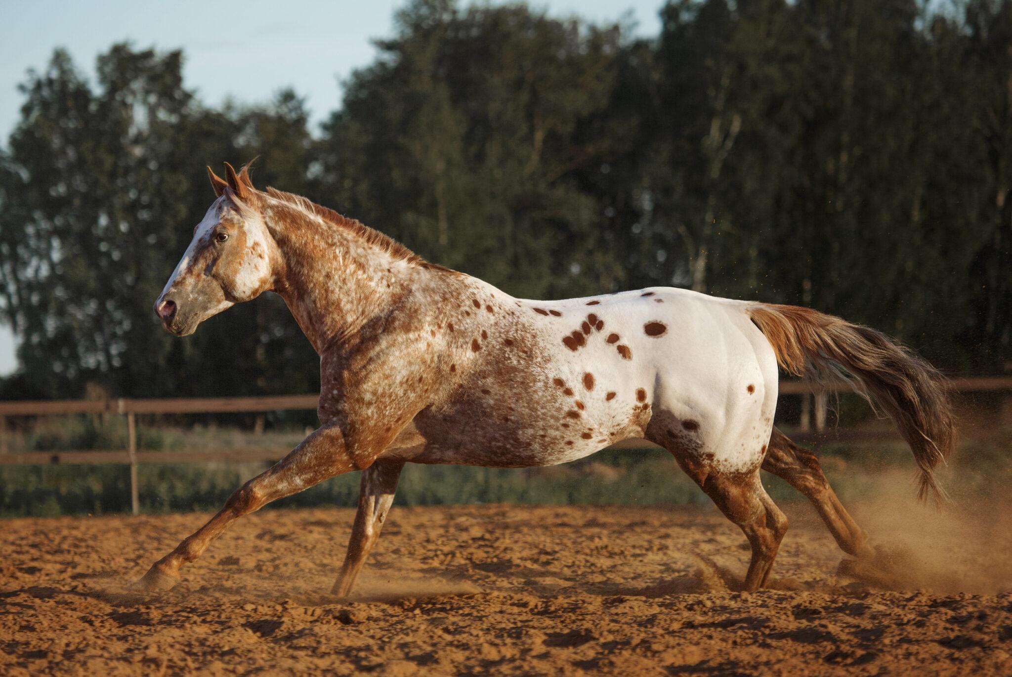 Horse Breed: Appaloosa - image by Alla-Berlezova / Shutterstock.com - Globetrotting horse riding holidays