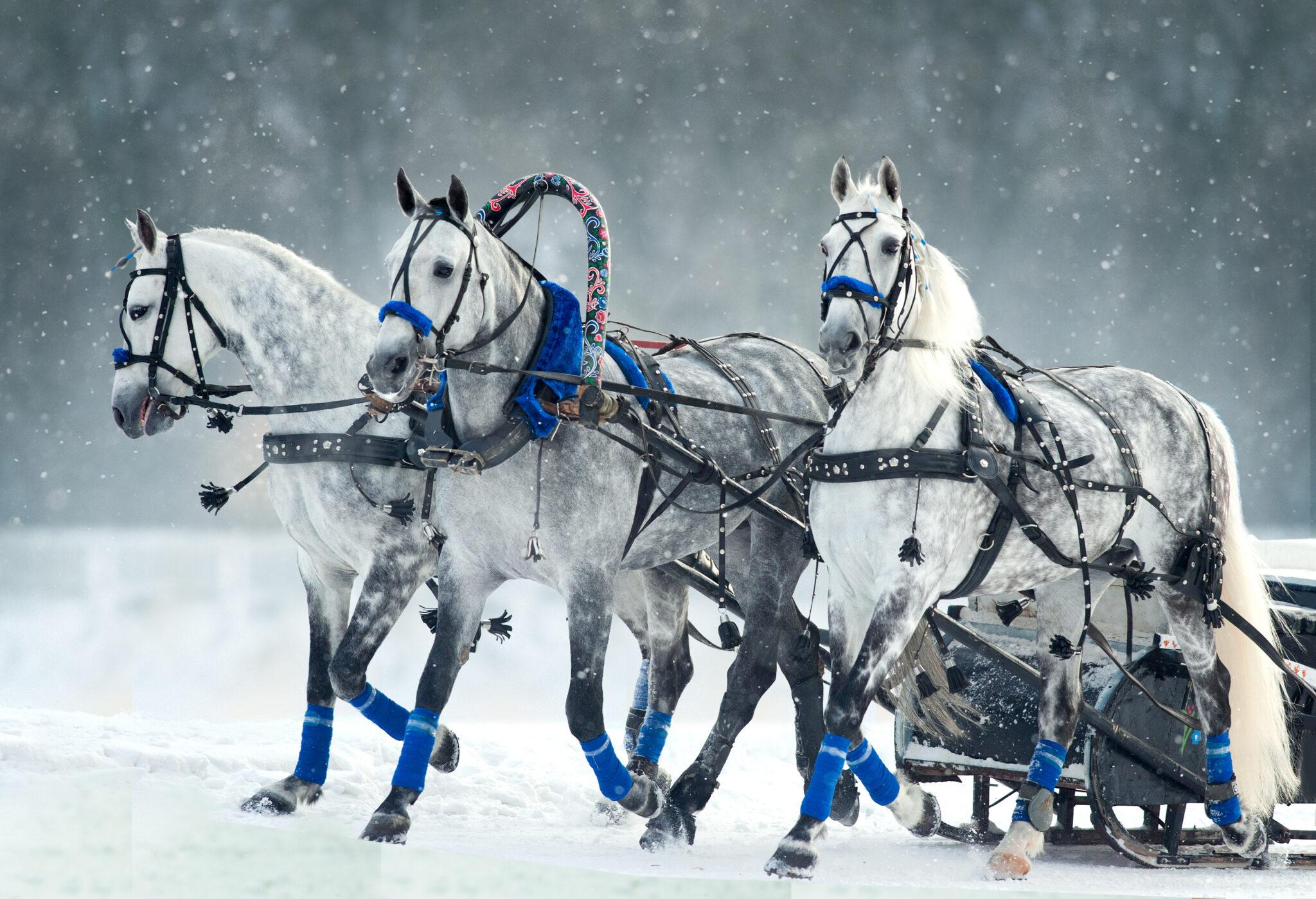 Horse Breed: Orlov Trotter - photo by Olga_i / Shutterstock.com - Globetrotting horse riding holidays