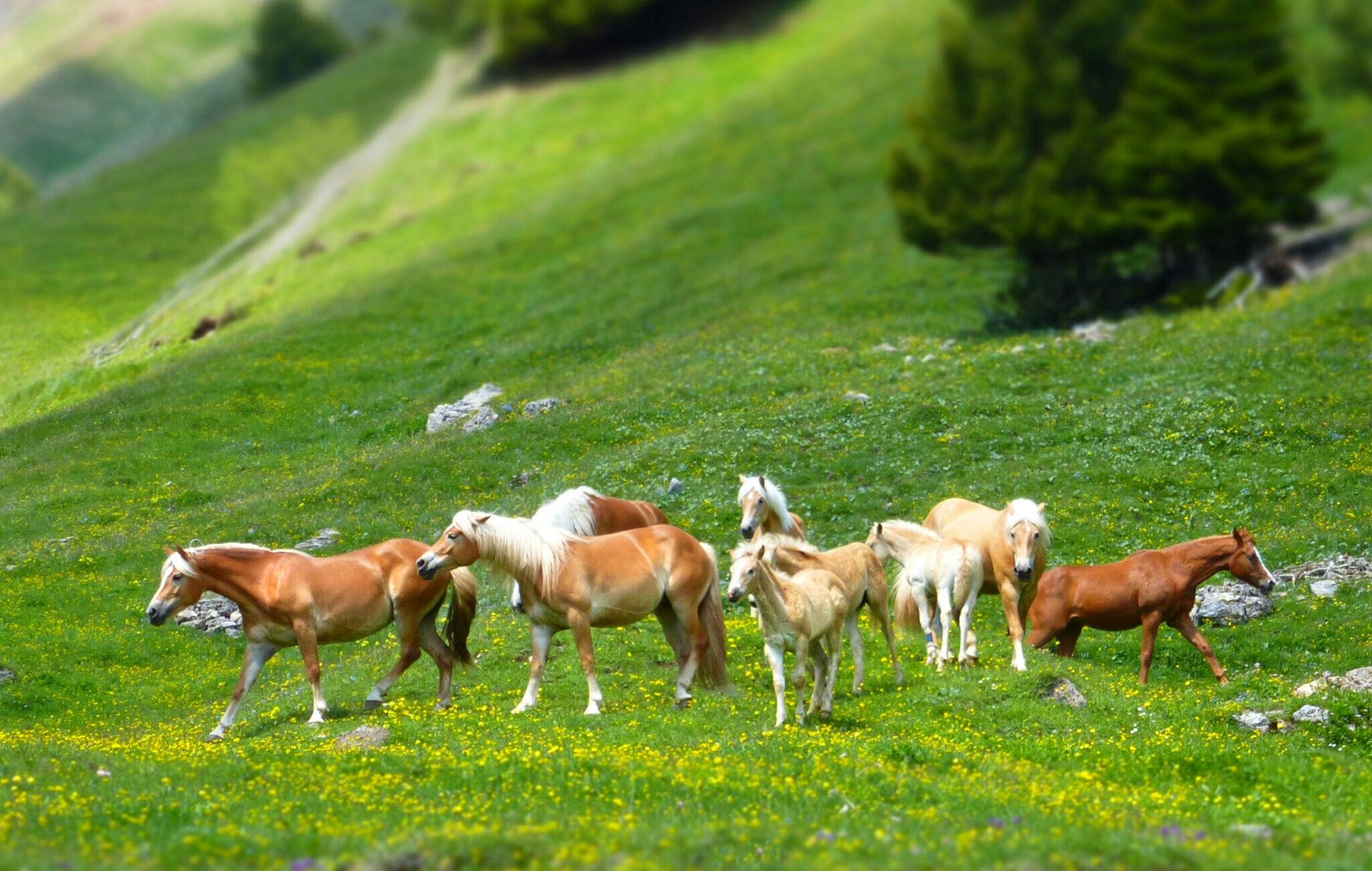 Horse Breed: Haflinger - photo by astifter on Pixabay - Globetrotting horse riding holidays