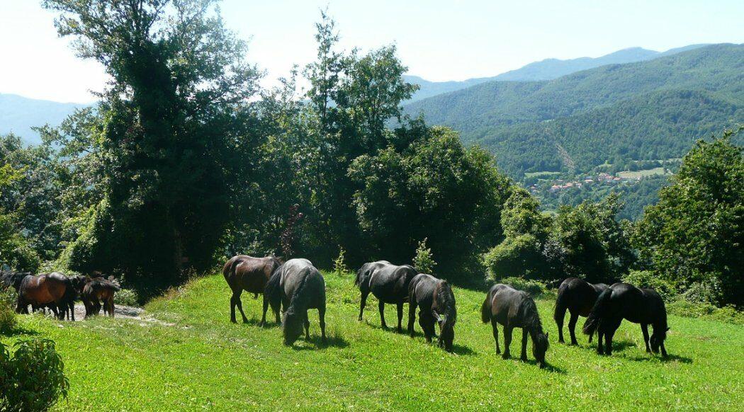 Horse Breed: Bardigiano - photo by christina.sanvito on Flickr (CC BY 2.0) - Globetrotting horse riding holidays