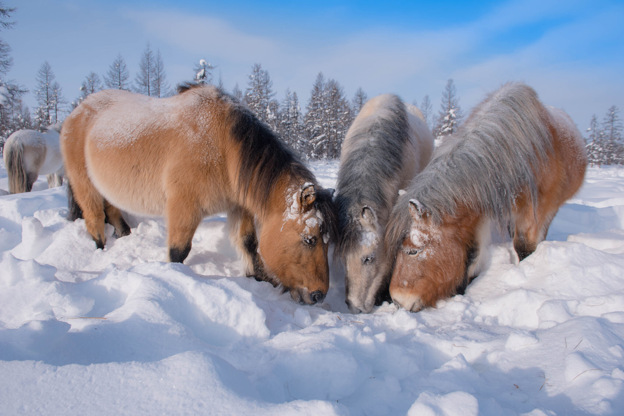 Horse Breed: Yakutian - image by Mikhail Cheremkin/Shutterstock.com - Globetrotting horse riding holidays