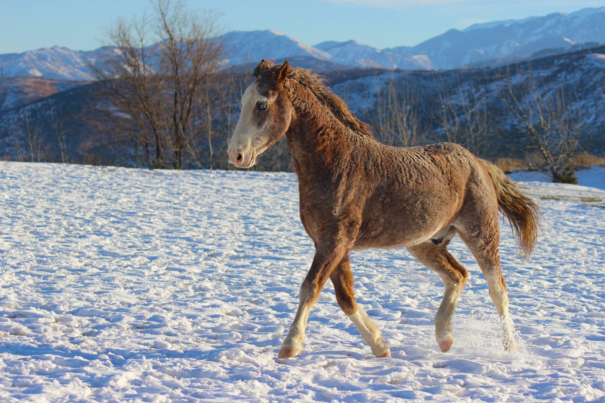 Horse Breed: American Curly - image by SunnyMoon/Shutterstock.com - Globetrotting horse riding holidays