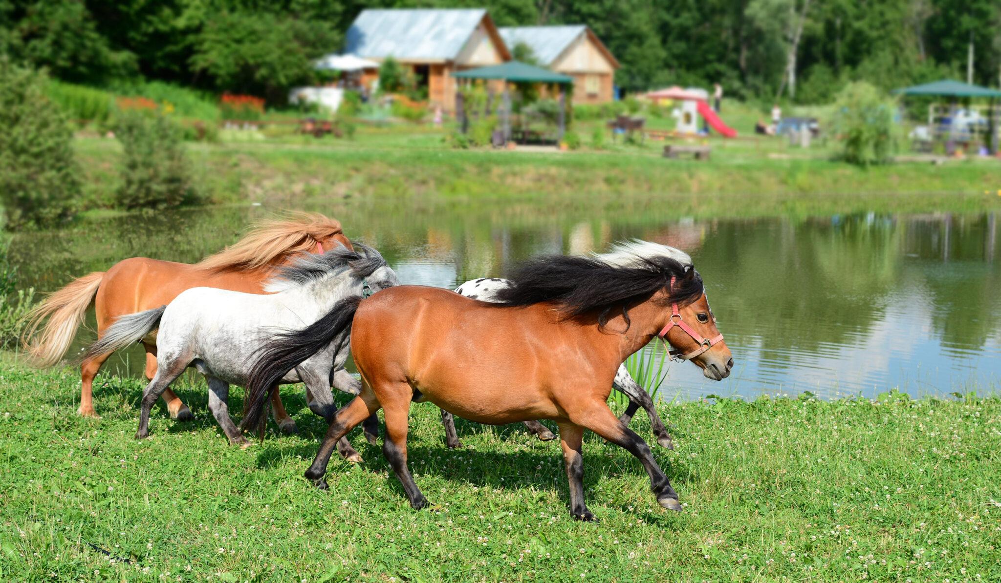 Horse Breed: Falabella - image by Grezova Olga/Shutterstock.com - Globetrotting horse riding holidays