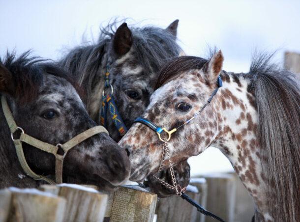 Horse Breed: Falabella - image by DragoNika/Shutterstock.com - Globetrotting horse riding holidays