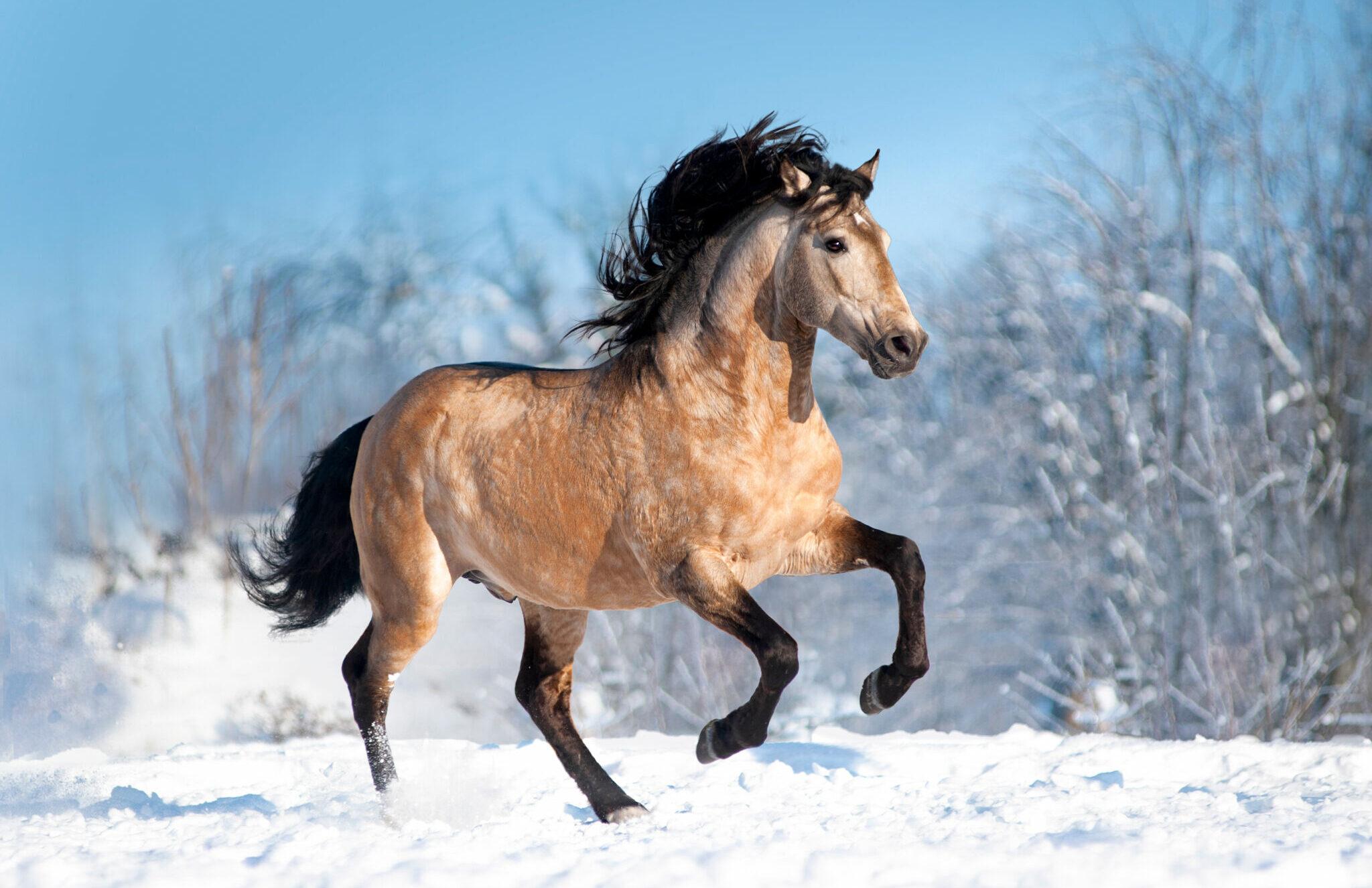Horse Breed: Lusitano - image by Olga_i/Shutterstock.com - Globetrotting horse riding holidays