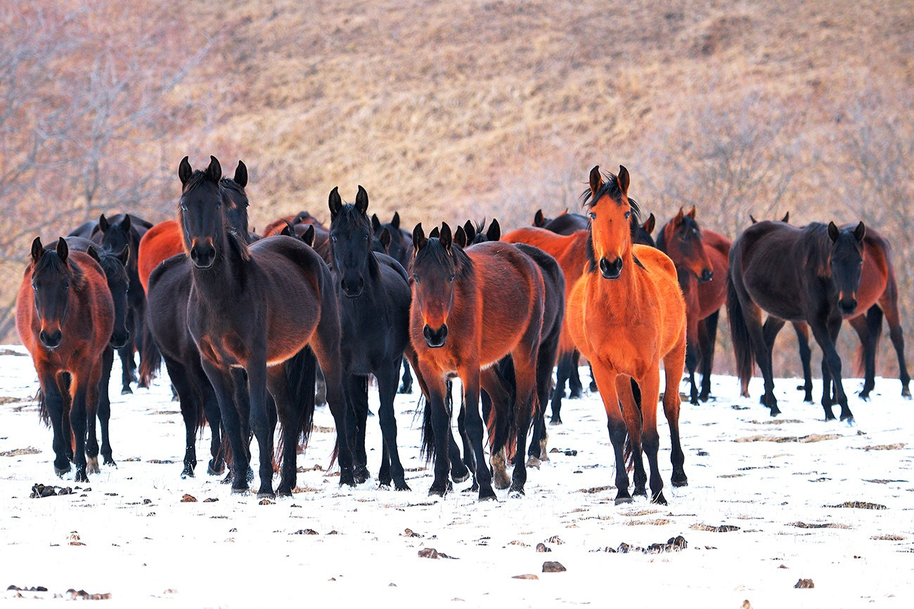Karachay horse breed - Globetrotting horse riding holidays
