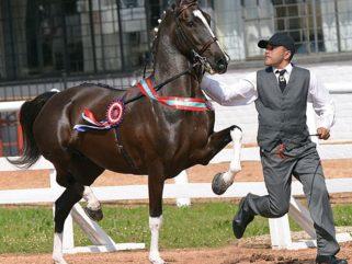 horse breed Hackney