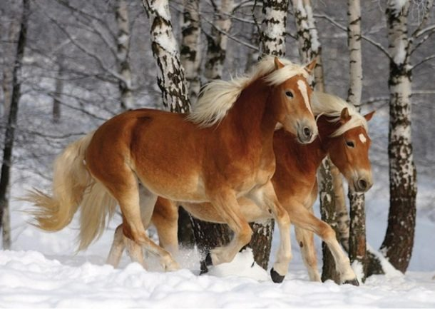 Horse breed: Haflinger - Big Black Horse LLC - Globetrotting horse riding holidays