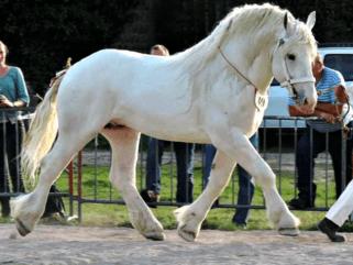 Horse Breed: Boulonnais - Horses-World - Globetrotting horse riding holidays