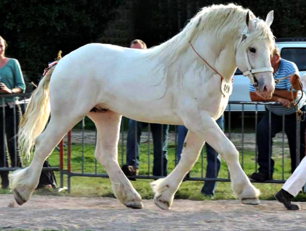 Horse Breed: Boulonnais - Horses-World - Globetrotting horse riding holidays