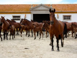 lusitano horses herd portugal riding holiday by globetrotting