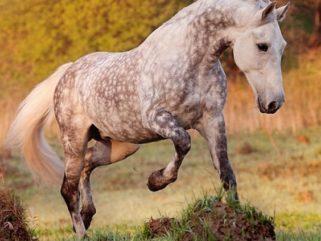 horse breed Orlov Trotter