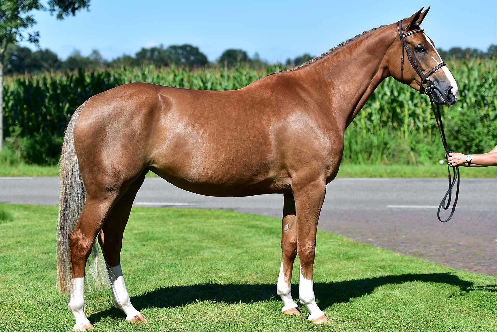 horse breed: Gelderland - Sterrehof Stud