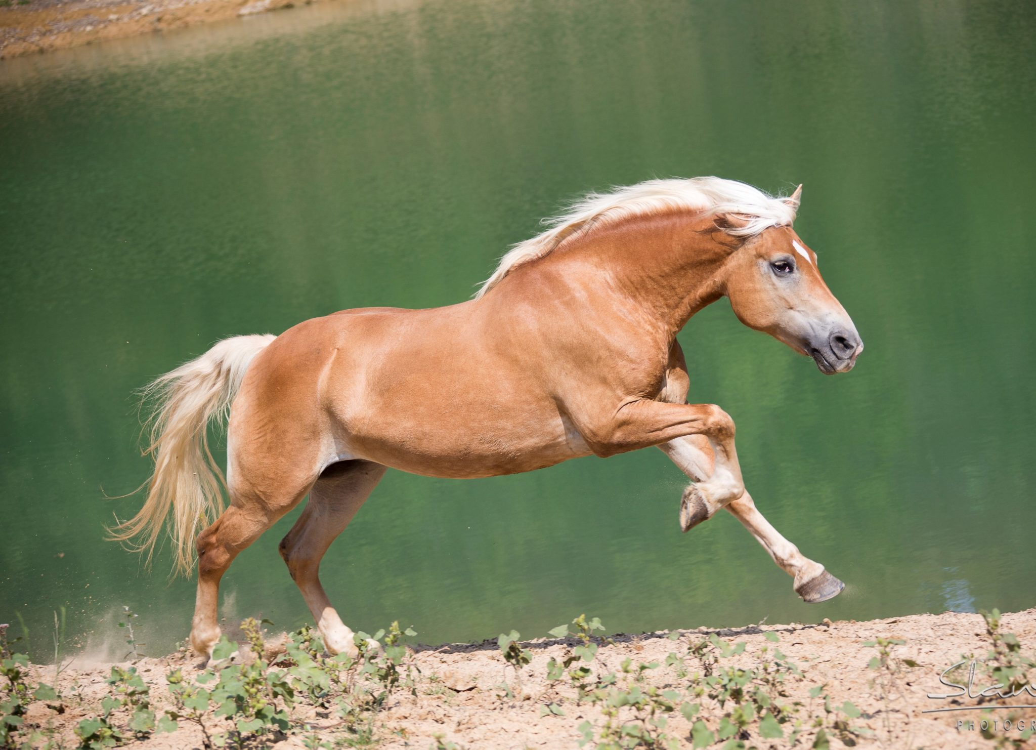 Horse breed: Haflinger - Castellare di Tonda Quarter Horses - Globetrotting horse riding holidays