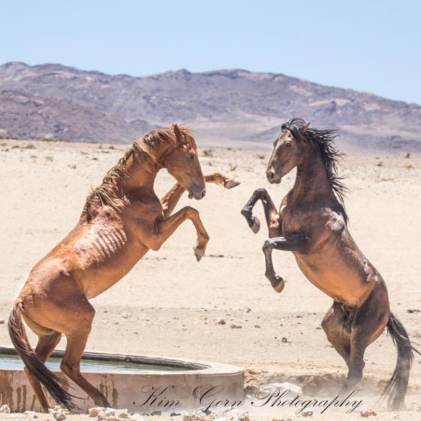horse breed: Namib Desert Horse - Kim Gorn photography - Globetrotting horse riding holidays