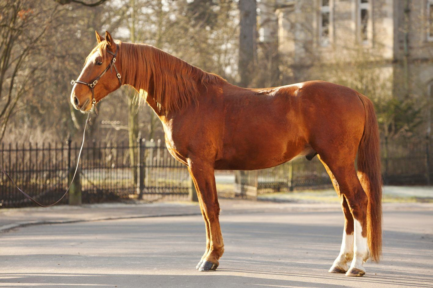 Horse breed: Frederiksborg - Globetrotting horse riding holidays
