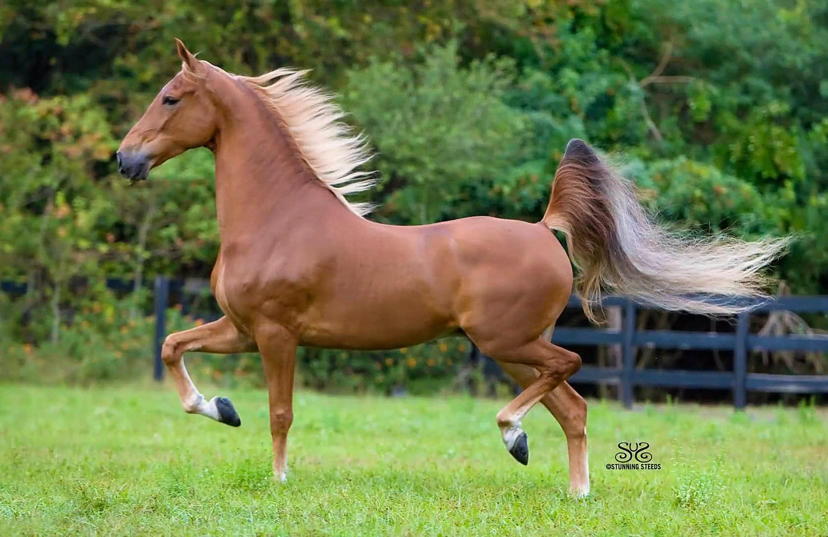 Horse Breed: Saddlebred - Stunning Steeds / Avalon Stables - Globetrotting horse riding holidays