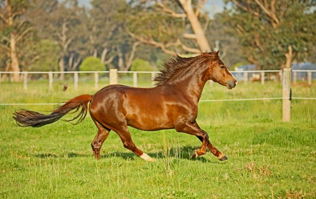 Horse Breed Morgan