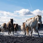 herd of Icelandic horses riding holiday Iceland by globetrotting