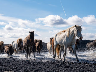 herd of Icelandic horses riding holiday Iceland by globetrotting