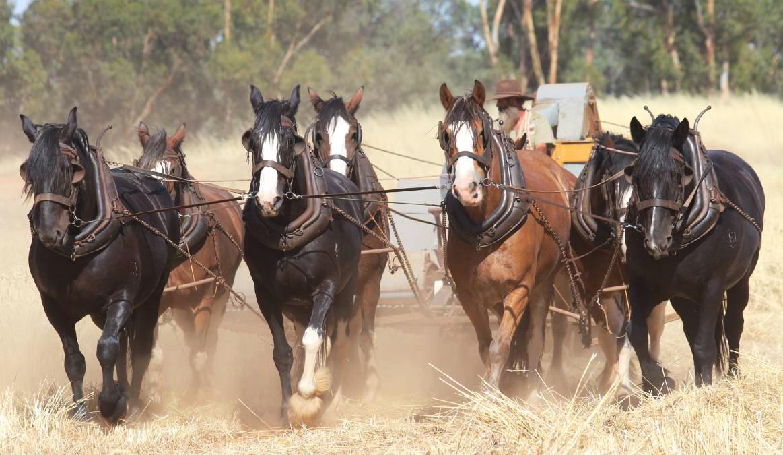 Horse Breed Australian Draught Horse