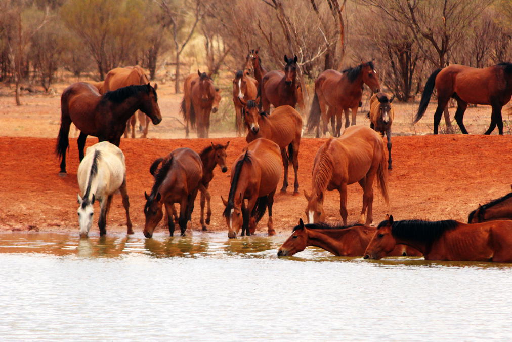 brumbyDesert brumby safari Australian outback horse riding holiday starting experience