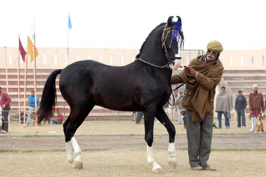 Horse Breed Marwari Horse