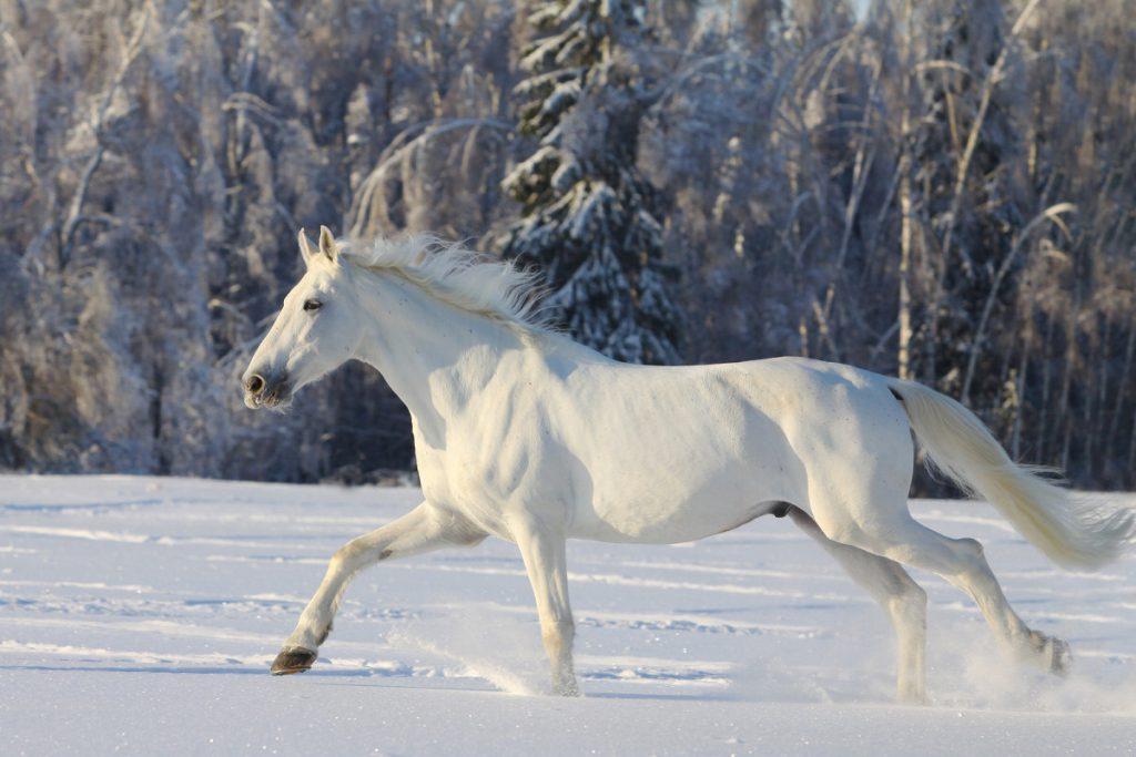 Horse Breed Camarillo White Horse