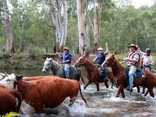horse riders crossing howqua river with cattle riding holiday by globetrotting