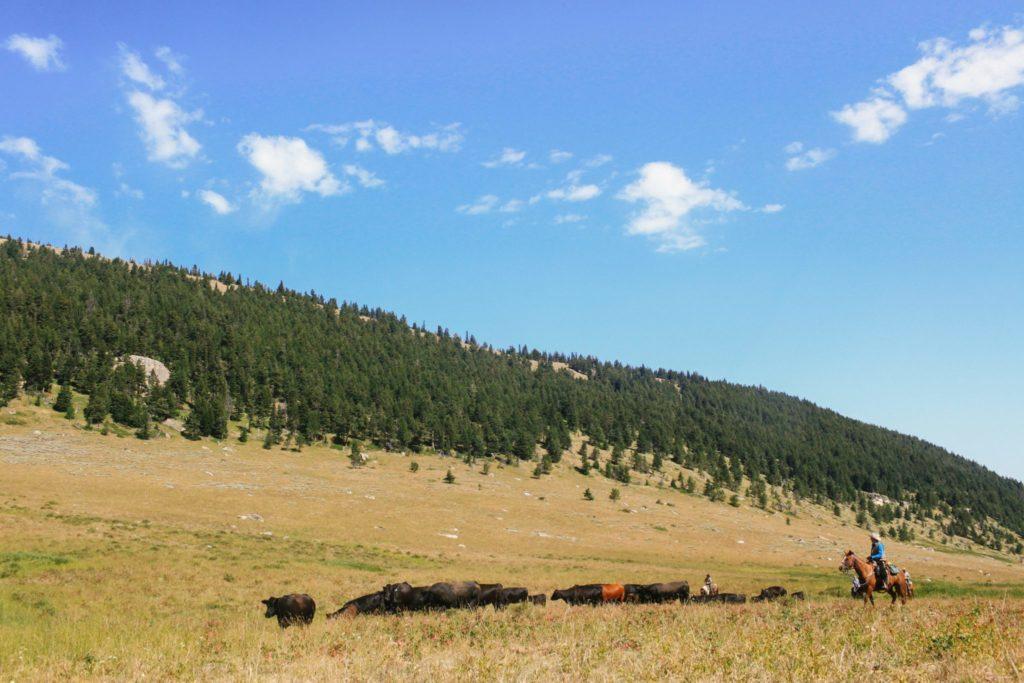 Big Horn Cattle Drive, USA