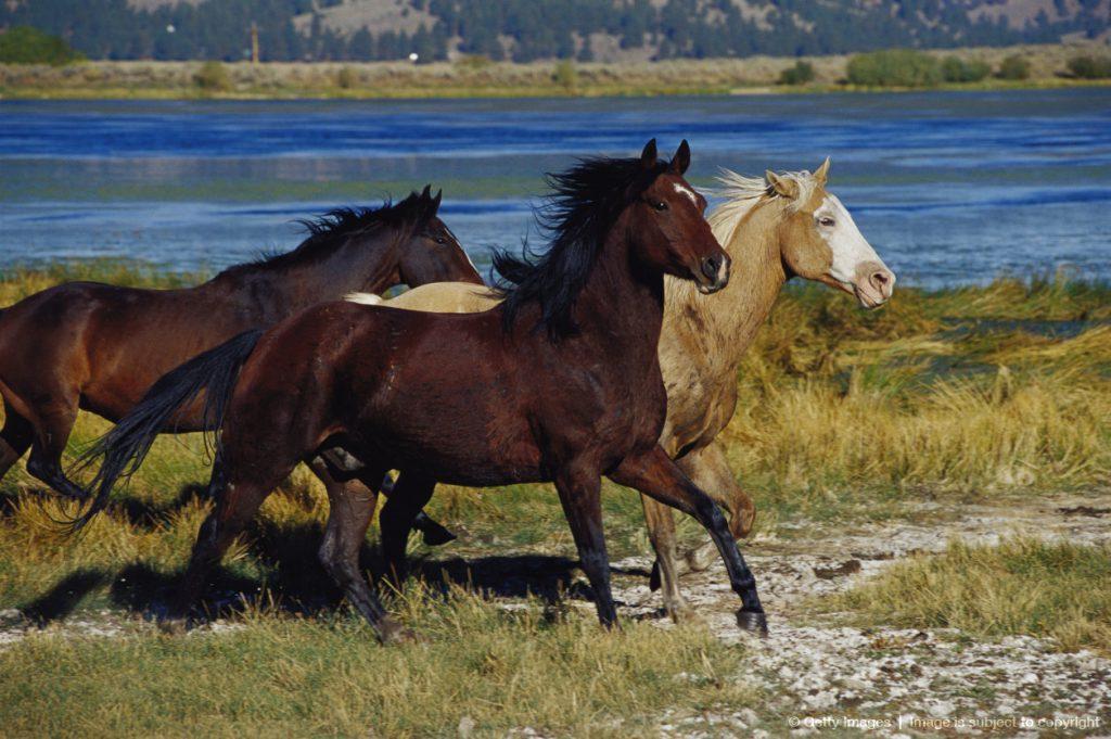 Horse Breed Cerbat Mustang