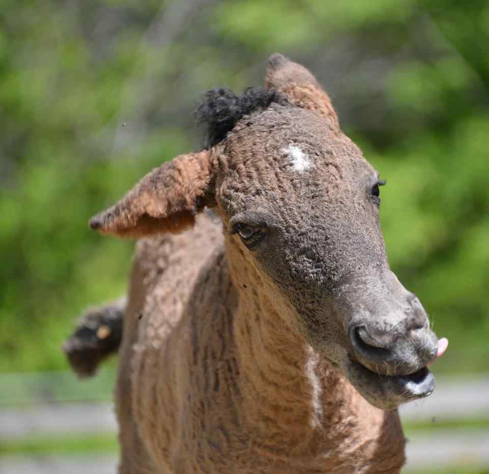 Horse Breed: Curly Horse