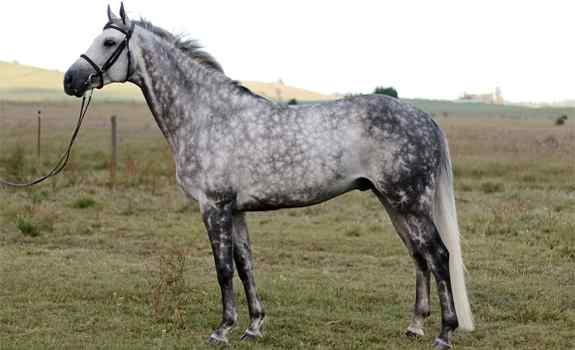 horse breed Trakehner