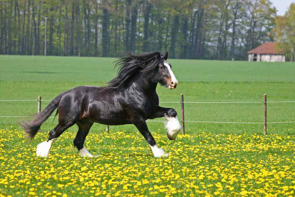 Horse Breed Shire Horse