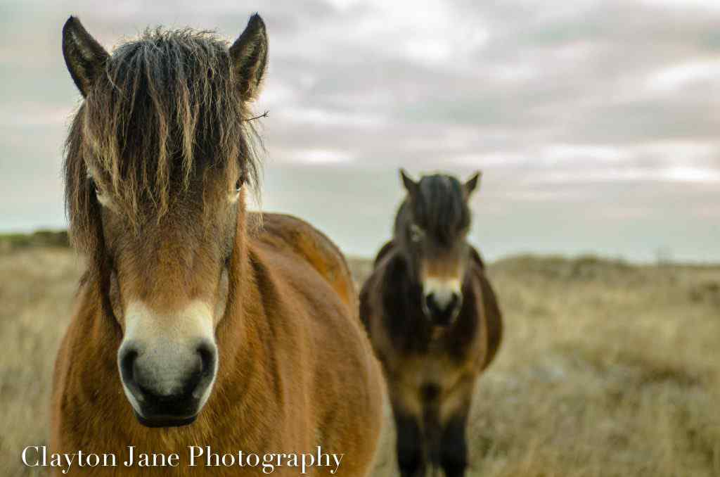 Exmoor pony FB image